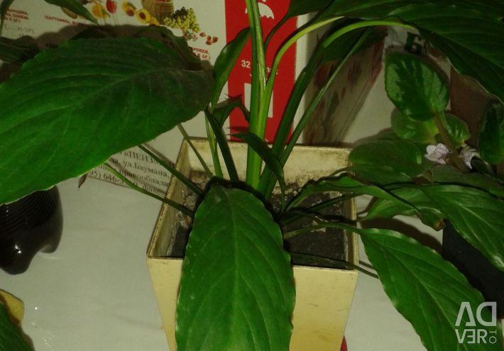 Spathiphyllum. Chlorophytum