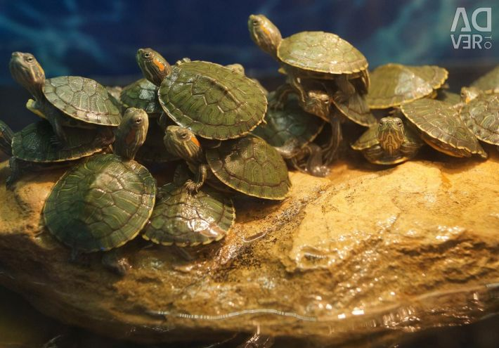 Aquarium Red-eared Turtle
