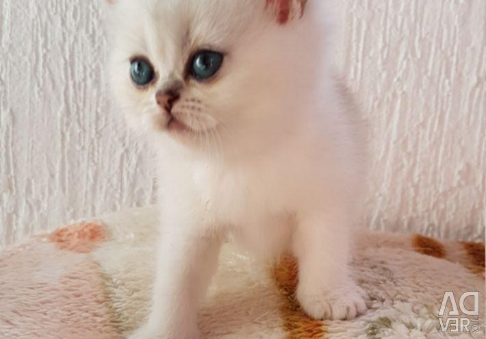 British short hair blue and lilac kittens