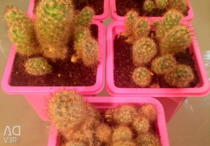 Сімейка дрібних кактусів