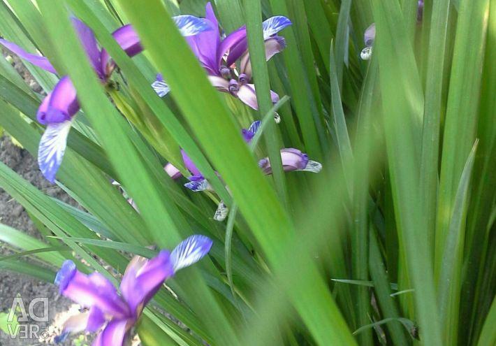 Plante perene: isop, irisuri, bujori.