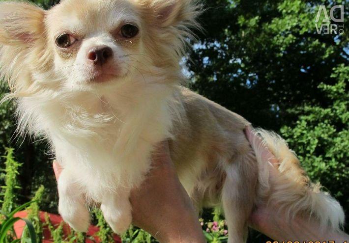 Chihuahua ds boy podroshchenny