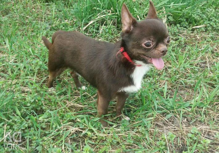 Chihuahua Chocolate Sweets