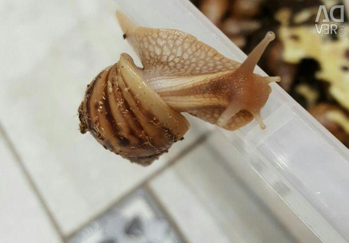 Snails Ahatiny😍 absolutely free