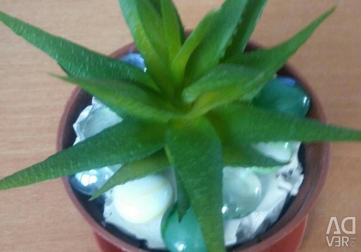 Aloe male.