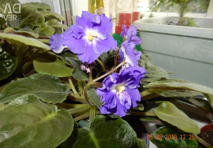 Terry violets