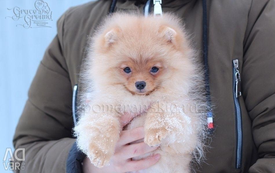 Orange girl Pomeranian Spitz