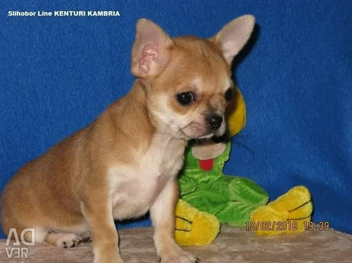 Puppy Chihuahua girl