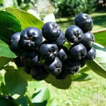 Chokeberry Rowan