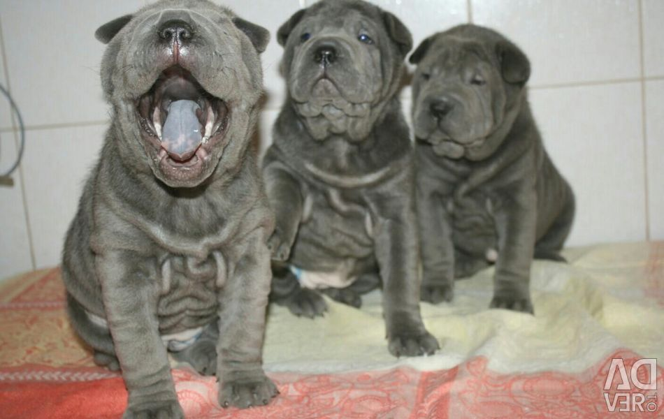 An adolescent blue shar pei girl with RKF