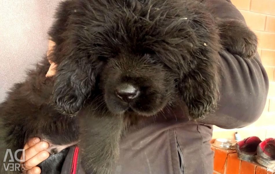 Puppies of the Tibetan mastiff, there are free