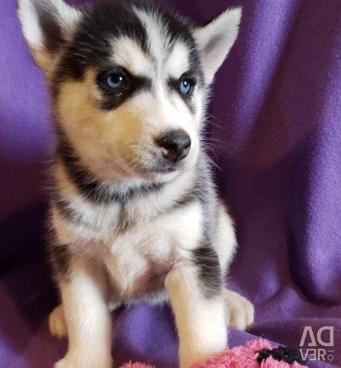 Ochi albaștri Husky sibiană în căutarea familiei urgente