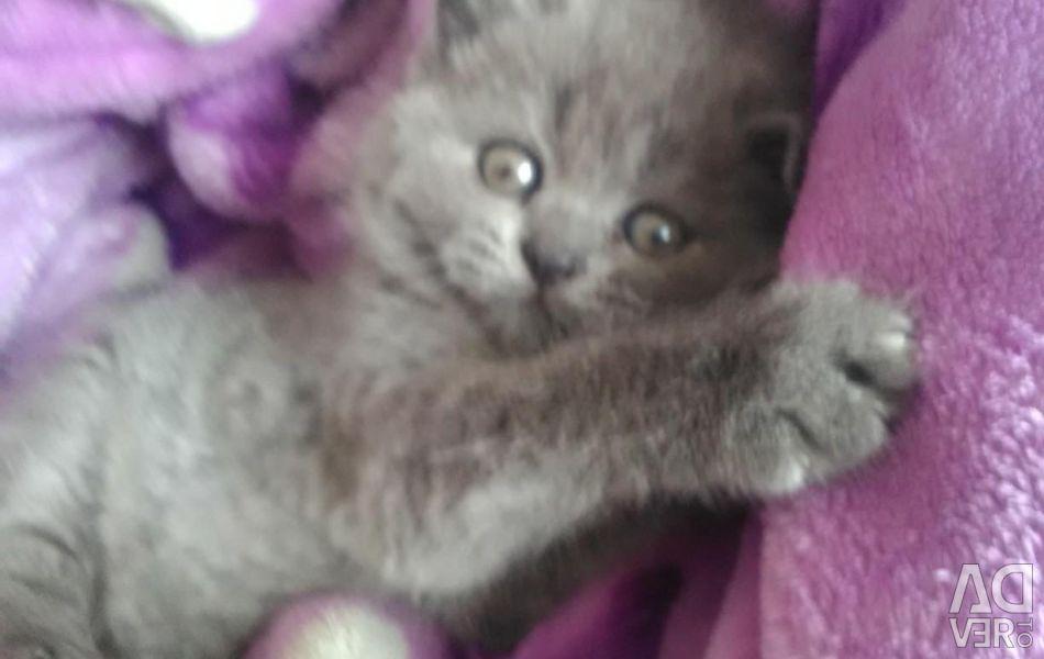 Super British kitten
