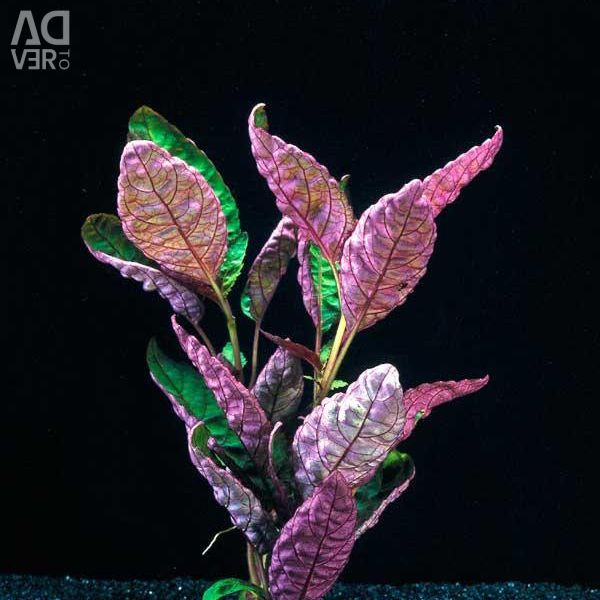 Hemigrafis Colorat Aquarium Plant
