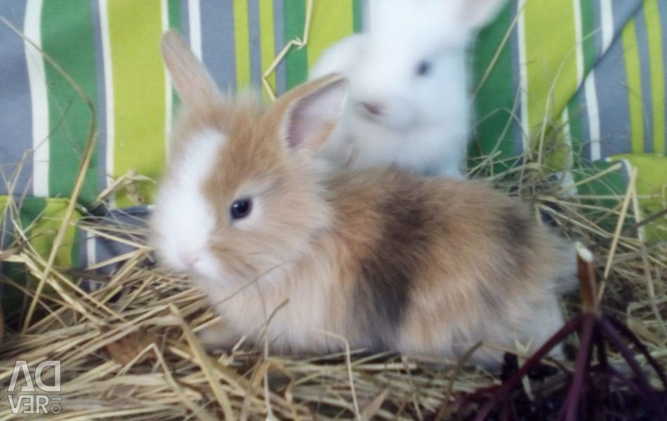 Карликові кролики
