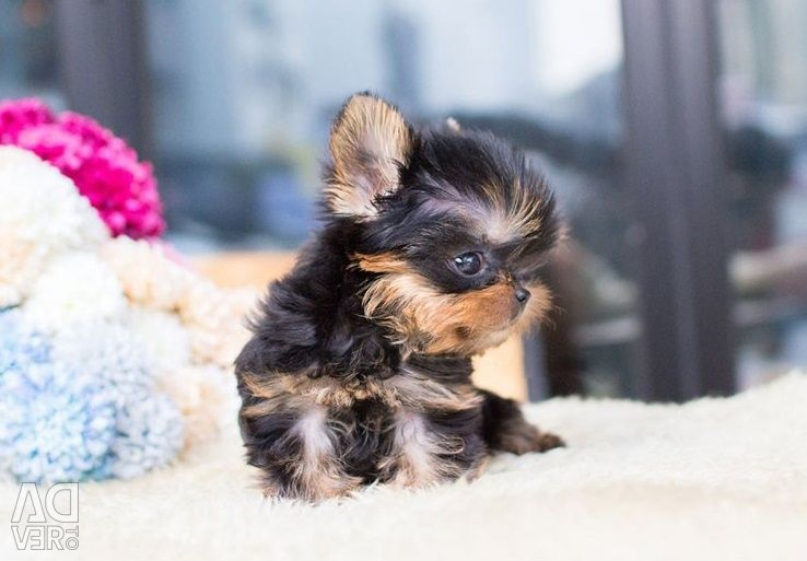 Teacup Yorkie Puppies Available for sale