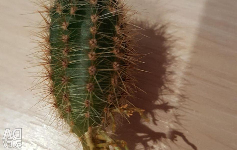 Cacti babes