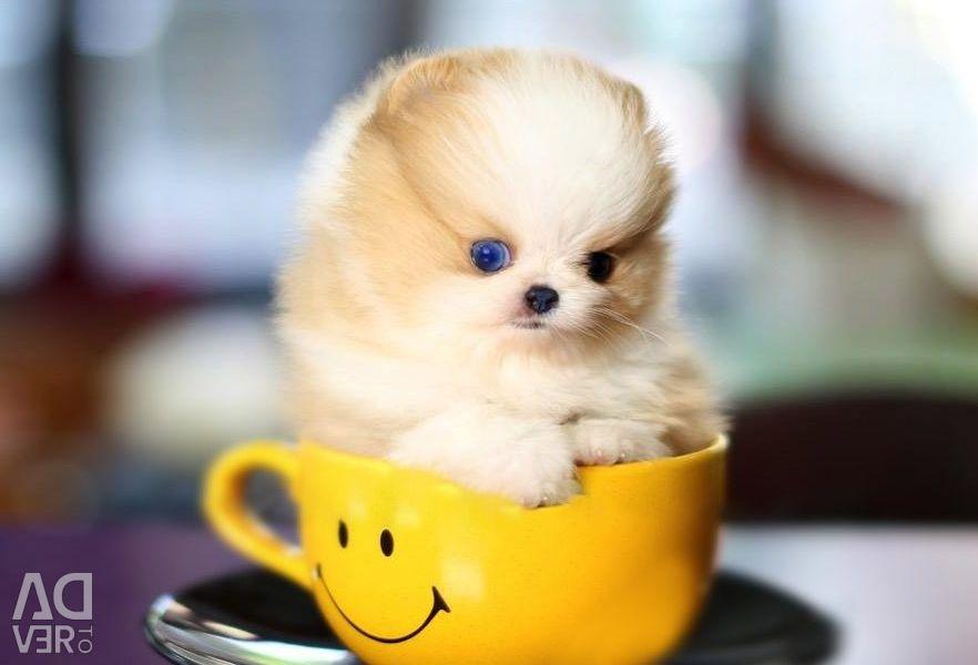 Micro Pomeranian Ready to go