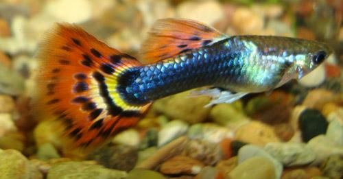Guppy on a goldfish
