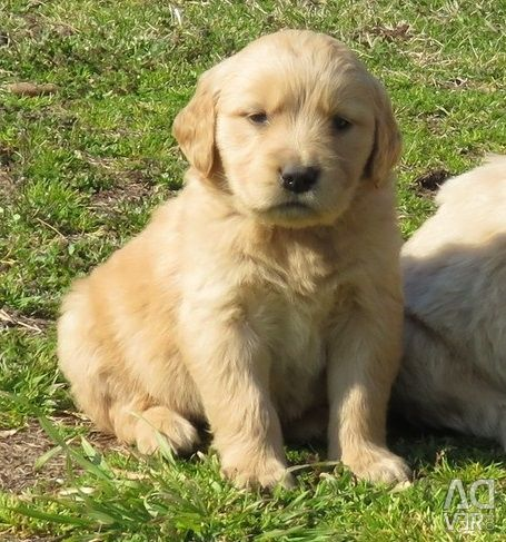 Beautiful, Golden Retriever is looking for good ho