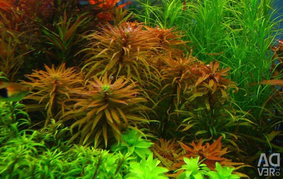 Ludwig Inclinat Aquarium Plant