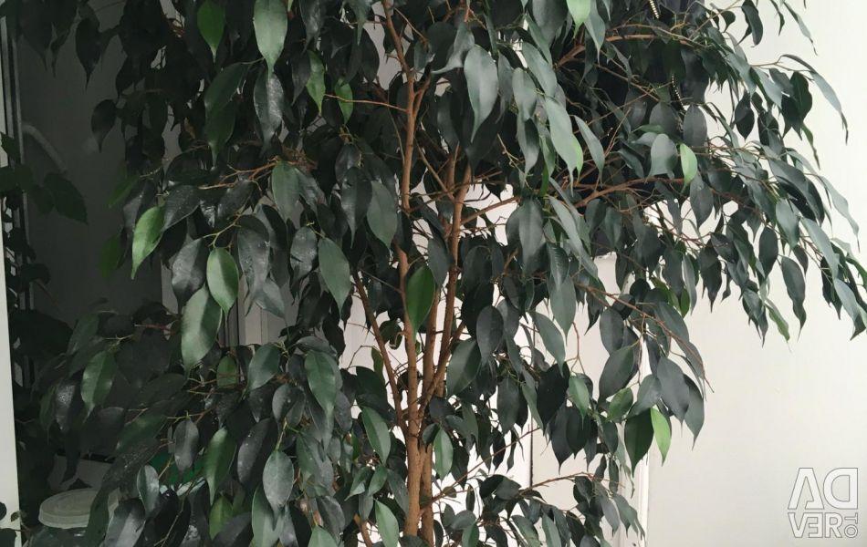Продам рослина дерево 🌳