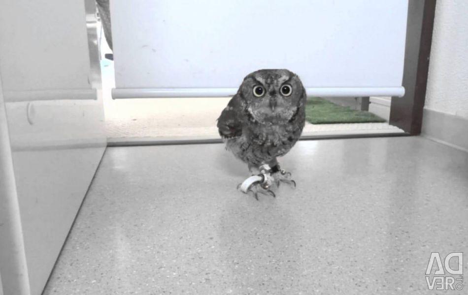 Owl splyushka