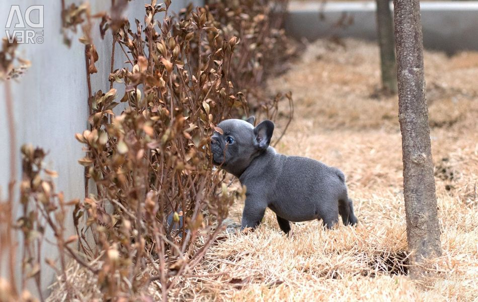 Blue French Bulldog Puppies Available for sale
