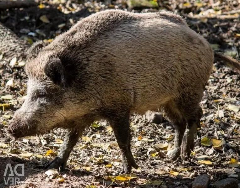 Wild boar aviary