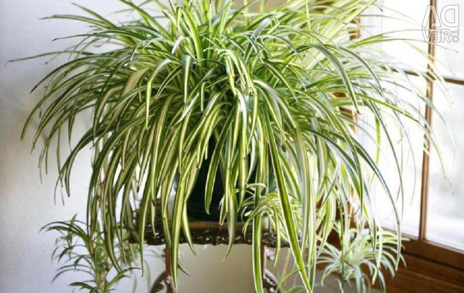 Chlorophytram sprouts