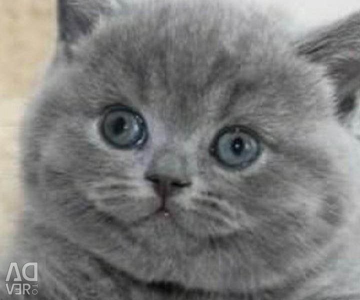 British kittens.