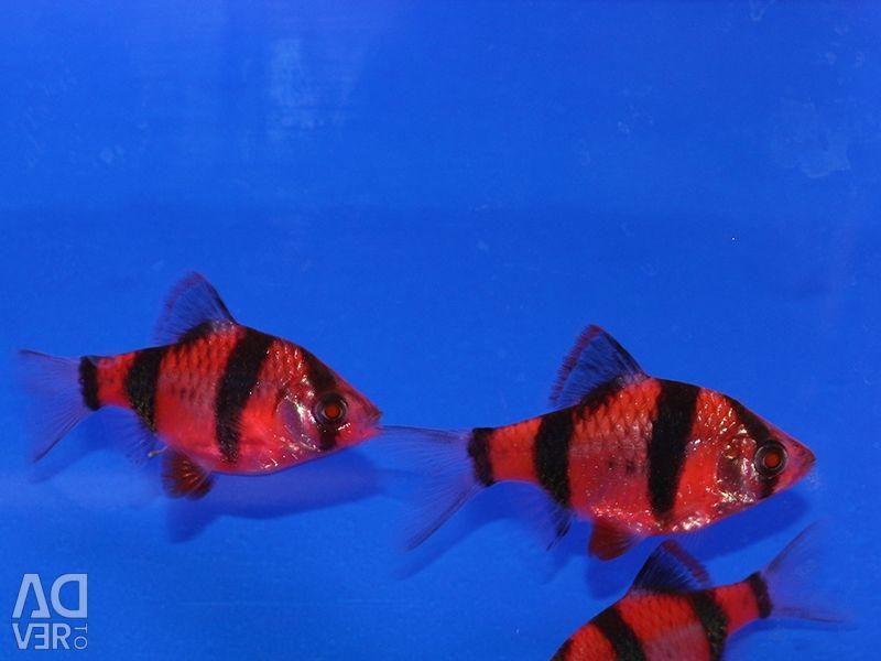Barbus Glofish Kırmızı