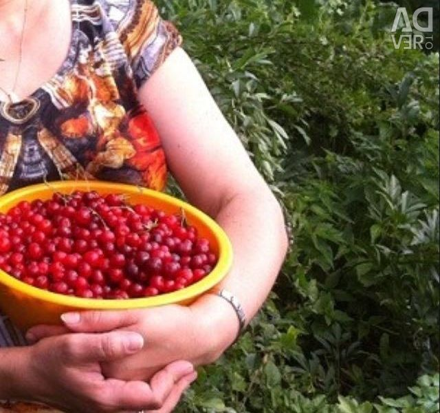 Altai φυτά κεράσι