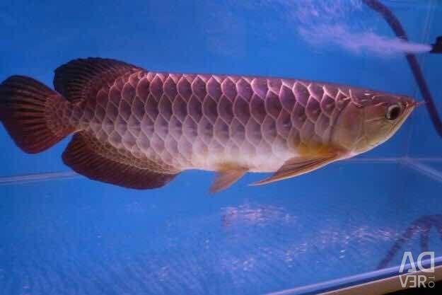 Premium Arowana Fish for sale