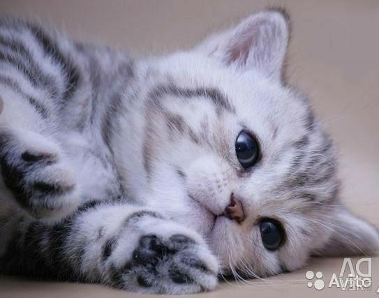 Ophelia mermer kediciği