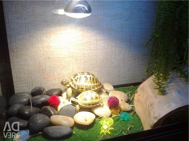 Cutii - broaște țestoase