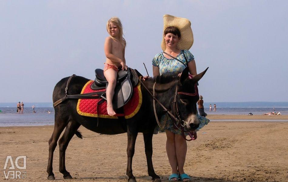 Horse walks on the pony-donkey Aigul
