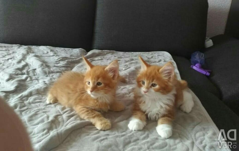 Red kittens Maine Coon